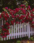 Don Juan climbing roses