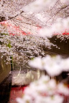 Cherry blossom, also called Sakura, is a beautiful flower of the Japanese Cherry.