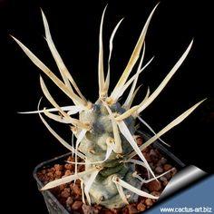Tephrocactus articulatus var. papyracanthus-paper spine cactus