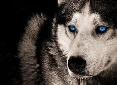 blue eyes wolf photo | blog about wolves | Just another WordPress.com site