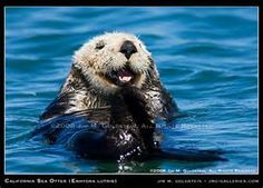 California Sea Otter Enhydra lutris) grooms Mouse Pad today price drop and special promotion. Get The best buyDiscount Deals California Sea Otter Enhydra lutris) grooms Mouse Pad Online Secure Check out Quick and Easy. Otters Funny, Funny Animals, Cute Animals, Otter Facts, Elkhorn Slough, Otter Man, Baby Sea Otters, Otter Pops, Brown Bear