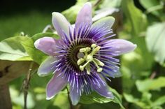 Growing Passion flowers, How to grow Passion flower in a container, Passiflora propagation, care. It is a tropical vine the natives of South America. Comment Planter, Flowering Vines, Passion Flower, Plantation, Flower Seeds, Kraut, Garden Planning, Garden Plants, Indoor Garden