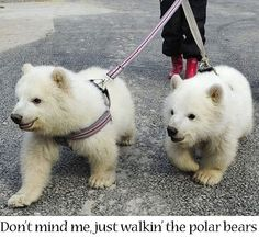 Just walking the polar bears...do these bears look familiar? Just missing a black eye.  :)