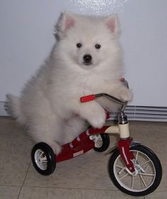 this is just adorable i want to take both the puppy and tricycle home for it to play on :)