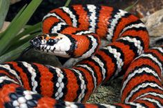 California king snake: these little beauties are sometimes mistaken for coral snakes; these snakes are non-venomous.