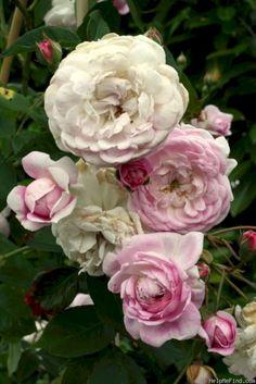 nice 68 Fantastic Landscape with Gorgeous White Garden Rose https://homedecort.com/2017/07/68-fantastic-landscape-gorgeous-white-garden-rose/