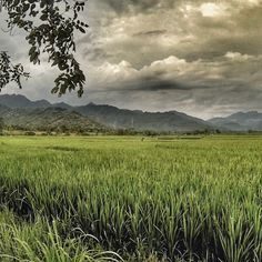#Sometimes you only need a #ricefield, #mountains and some #clouds - #indonesia #lombok #travel #backpacking #darkclouds #lookslikegrass
