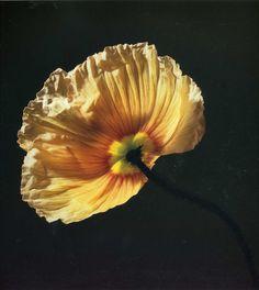 Poppy by Robert Mapplethorpe
