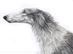 I have seen this look! | Borzoi study II by ~Annushkathesetter on deviantART