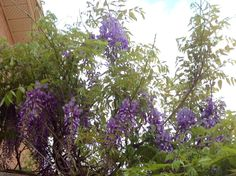 Wisteria finally blooming