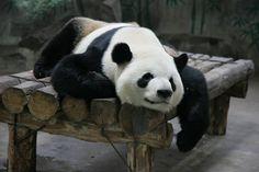 Say hi to the little panda at the Hangzhou Zoo! #hangzhou #china #asia #travel #explore #traveler #hangzhouzoo #panda