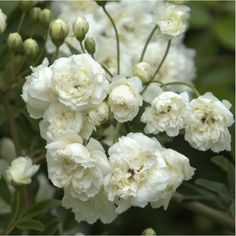 White Lady Banks Climbing Rose - 1 Plants - 2 Feet Long - Ship 1 gal Pot White Lady Banks Climbing R White Climbing Roses, White Roses, White Flowers, Rare Flowers, Beautiful Flowers, Planting Roses, Planting Bulbs, Outdoor Plants, Gardens