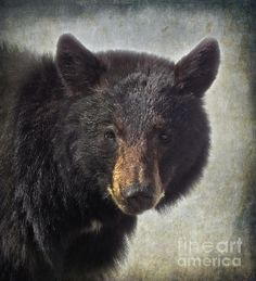 Title  Black Bear   Artist  Angie Vogel   Medium  Photograph - Photography / Digital Art