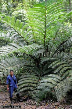 Angiopteris evecta, commonly known as the Giant Fern