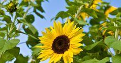 Por qué los girasoles siempre se dirigen hacia el sol . Los girasoles (Helianthus annuus) son plantas anuales con tallos largos que mantienen a las flores en lo alto y hojas anchas captar la luz solar utilizada en la fotosíntesis. Las cerdas a lo largo del tallo evitan la pérdida de agua y ayudan a defender a la planta de los depredadores. Las plantas han existido desde la antigüedad; la datación por ...