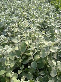 Produkcja Helichrysum Petiolare