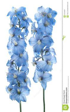 blue delphinium - Google Search
