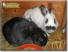Read Atzeline's story the Dalmatian Rex Rabbit from Landau in der Pfalz, Germany and see her photos at Pet of the Day http://PetoftheDay.com/archive/2011/May/09.html .