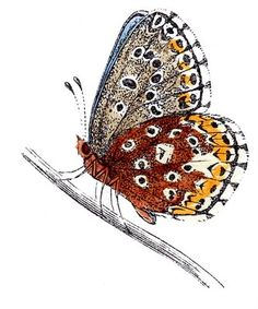 Vintage Clip Art - Natural History - Butterflies - The Graphics Fairy