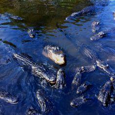 Alligators and alligators