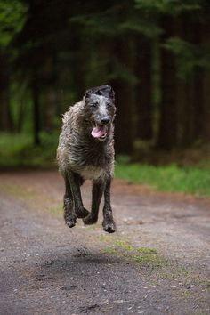 Scottish Deerhound. Love watching these doggies run. <3