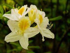 Rhododendron Desktop, Wallpaper, Rose, Flowers, Plants, Pink, Wallpapers, Roses, Flora
