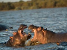 Picture of two hippos in St. Lucia Lake, South Africa
