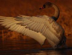 Alaska.com Birds and Alaska Birding