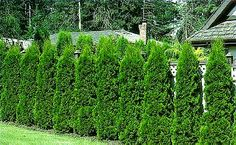 Arborvitae - for insulation, natural fencing, hedge, privacy