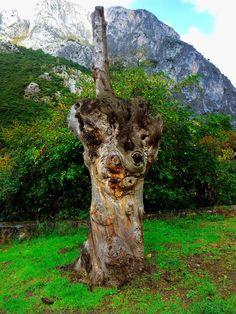 El tejo de Lebeña | Cantabria | Spain  Se lo partió un rayo y era milenario...