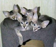 Oriental Shorthairs - Cats - Charity's Babies.  Sweet but loud, but they are loud, I can't hear over the loud,... Did I mention loud? Little buggers.  Love them.  :)