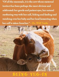 Of all the mammals, it is the cow whose maternal instinct has been perhaps the most obvious and celebrated.