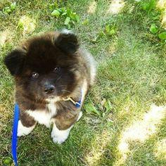 Most Inspiring Akita Chubby Adorable Dog - 5aa619968d921f72e10b4a4de1a80fce--chubby-puppies-american-akita  Gallery_635184  .jpg