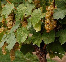 Vidal blanc - Vinthousiast, Rupelmonde (Kruibeke) - www.vinthousiast.be