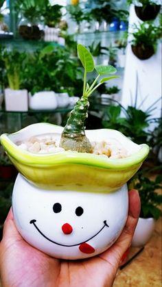 Always smile - Xương rồng Mặt Trời - Sun plant