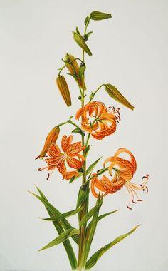 tiger lily botanical illustration - Google Search