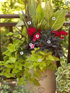 Use Geraniums as Accent Plants. Because their big heads of colorful flowers are so dramatic, we usually think of geraniums as the star of a container garden. A: Geranium (Pelargonium 'Savannah Hot Pink Sizzle') -- 2 B: Sweet potato vine (Ipomoea 'Sidekick Black') -- 1 C: Sweet potato vine (Ipomoea 'Sidekick Lime') -- 1 D: New Guinea impatiens (Impatiens 'Sonic Sweet Cherry') --1 E: Cordyline 'Red Star' -- 1 F: Bacopa (Sutera 'Calypso Jumbo White') -- 2 G: Canna 'Pretoria' -- 1