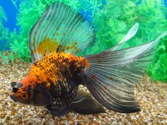 Goldfish -- a real beaut of a Veiltail Comet Goldfish, Goldfish Aquarium, Veiltail Goldfish, Goldfish Types, Fishing Nursery, Beautiful Fish, Sea Fish, Hound Dog, Fish Art