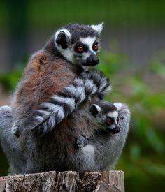 Lemur in the Berliner Tierpark, by Mike Grosshanten Pretty Animals, Animals Beautiful, Cute Animals, Nature Animals, Baby Animals, Wild Animals, Critters 3, Pretty Landscapes, Little Critter