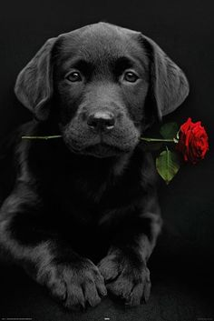 black lab puppy with rose