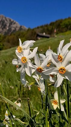 The best and easiest trail for seeing the most narcissus flowers near Montreux Switzerland in late May. Easy to access by car or train and a relatively easy hike, a good trail for families, with lots of places to picnic. Click through for a trail map, directions and tips for your visit.