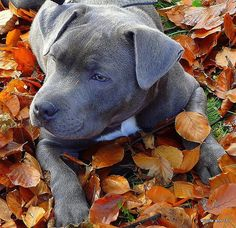 Blue staffy puppy autumn leaves. ...........click here to find out more http://googydog.com