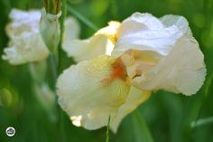 Growing and Dividing Bearded Iris