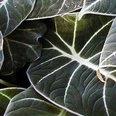 """Alocasia """"Black Velvet"""" Elephant ear plant"""