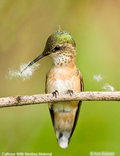 Calliope Hummingbird - This is the smallest breeding bird found in Canada and the United States.