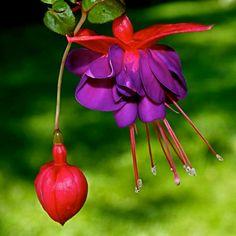 Savvyhousekeeping Flowers That Attract Hummingbird Propogate Fuschia