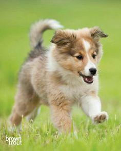 Shetland Sheepdog puppy on the run!