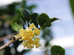 Osmanthus-A special flower which is used for teas in China, very lovely!