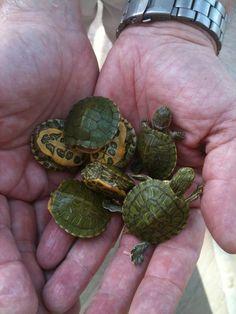 Tiny turtles! #cute