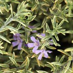 Westringia 'Wynyabbie Highlight' at San Marcos Growers Bush Garden, Green Garden, Green Plants, Drought Tolerant, Go Green, Shrubs, Highlights, Backyard, Olsen